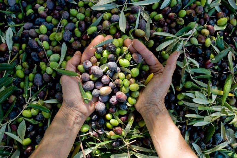 hand-met-olijven