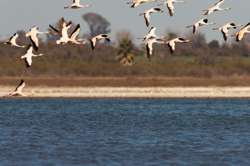 Flamingo's in de ebrodelta