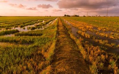 Spaanse vertaling: Arroz y paz en la Delta del Ebro