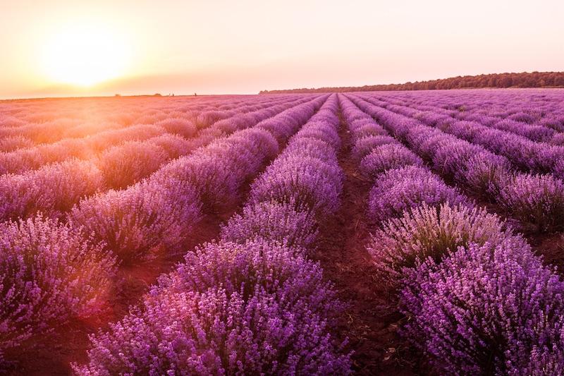 brihuega lavendel