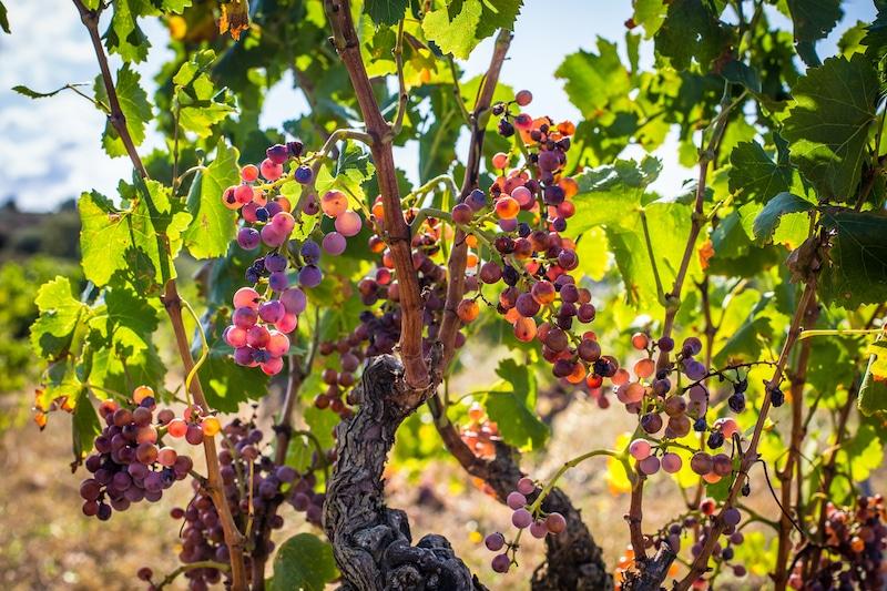 Druiven in wijngaarden in Catalonie Spanje