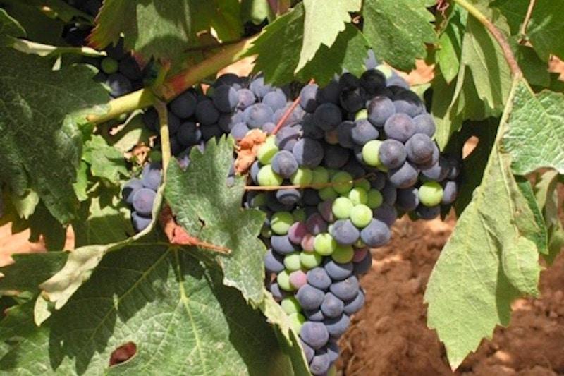 rode en groene druiven in Spanje