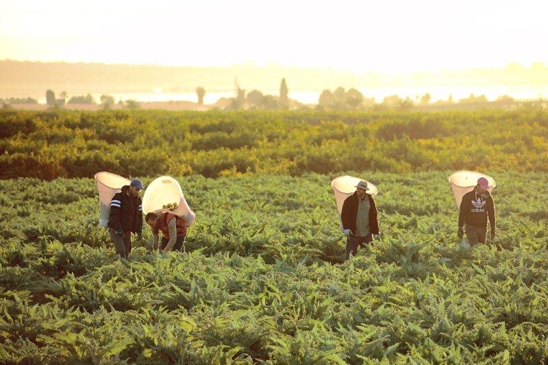 Arbeiders op een artisjokkenveld in regio Murcia